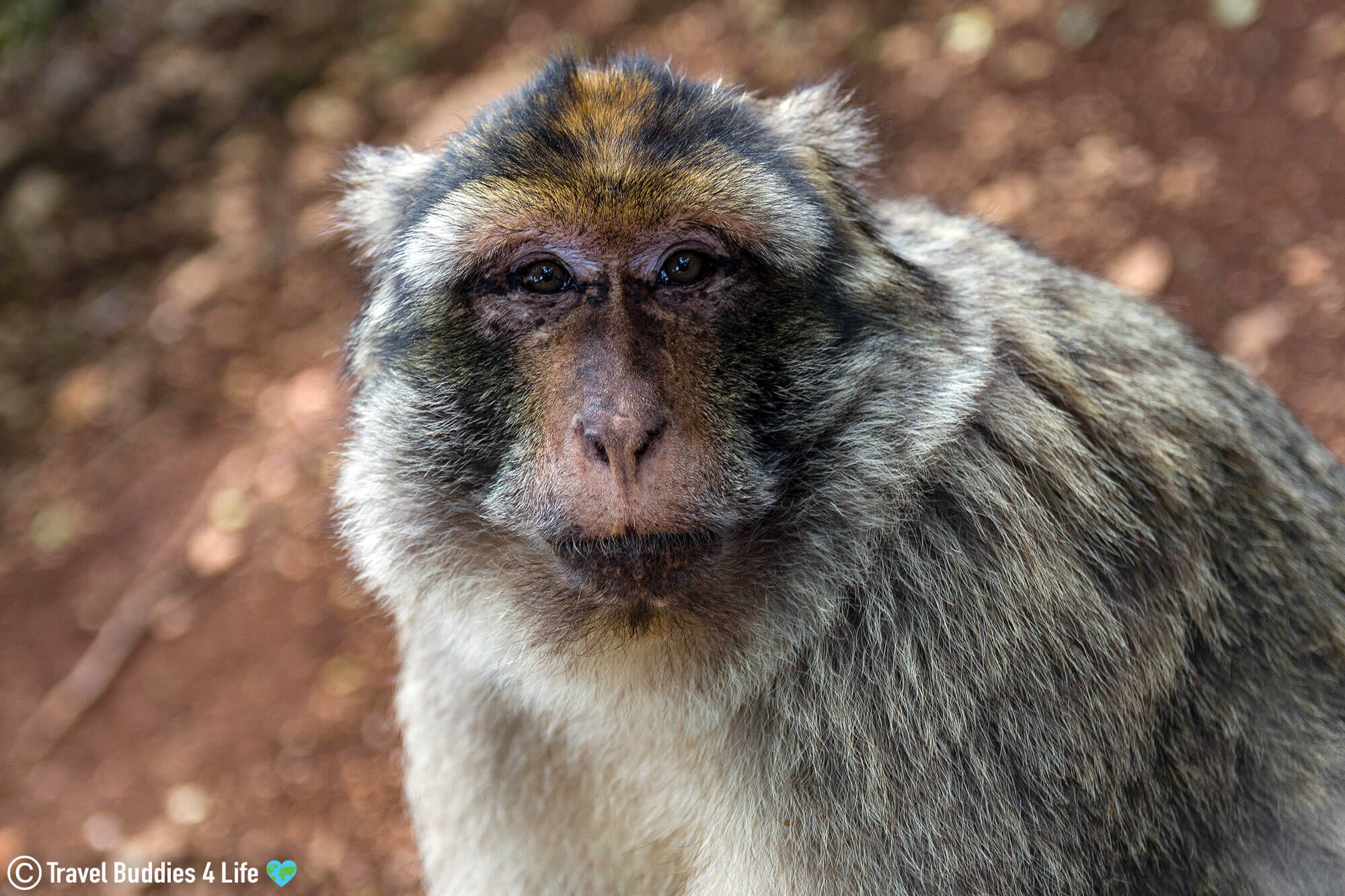 A Barbary Macaque Staring into the Camera at the Monkey Centre in Rocamadour, France, Europe