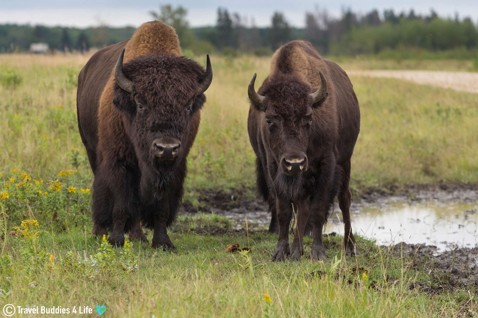 A Big And Small Bison Near The Watering Hole, Riding Mountain Park, Manitoba Travels, Canada