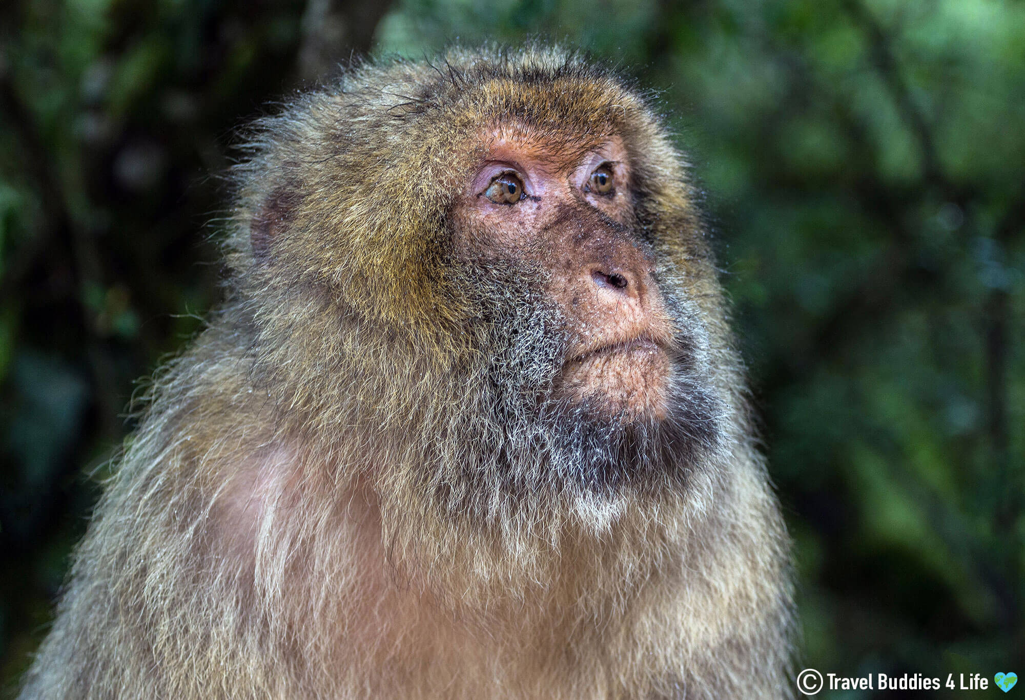 A Free Roaming Forest of Macaques Monkeys in Southern France, Europe