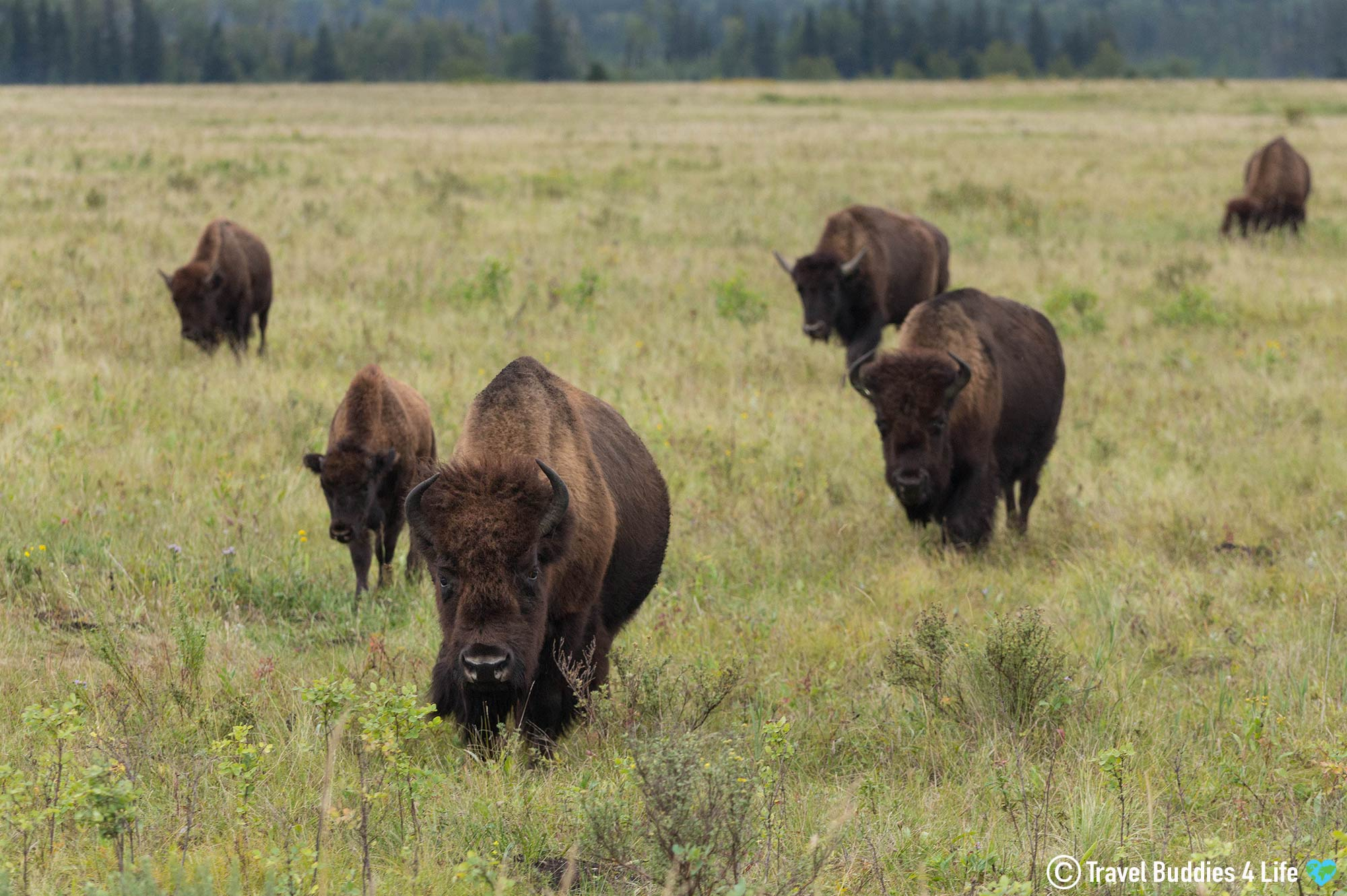 A Herd Of Bison Walking The Grasslands Of Ridong Mountain National Park, Manitoba Travel, Canada