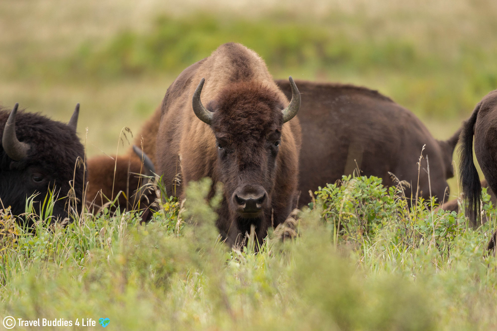 A Herd Of Bison With One Staring In Riding Mountain Audry Lake Enclosure, Manitoba Adventures, Canada