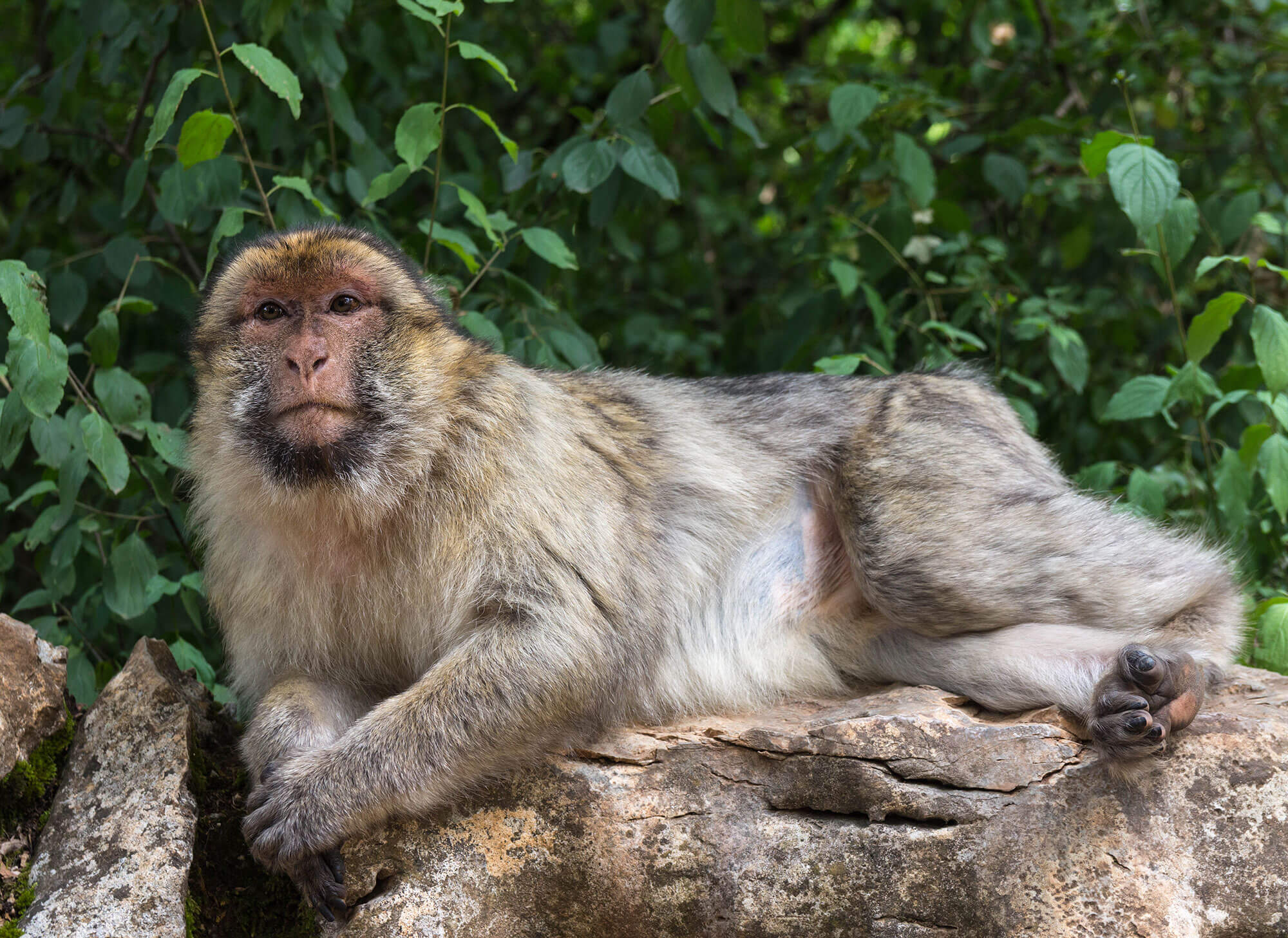 A Lazy Barbary Macaque Relaxing on Some Rocks in Southern France's Rocamadour Monkey Park, Europe