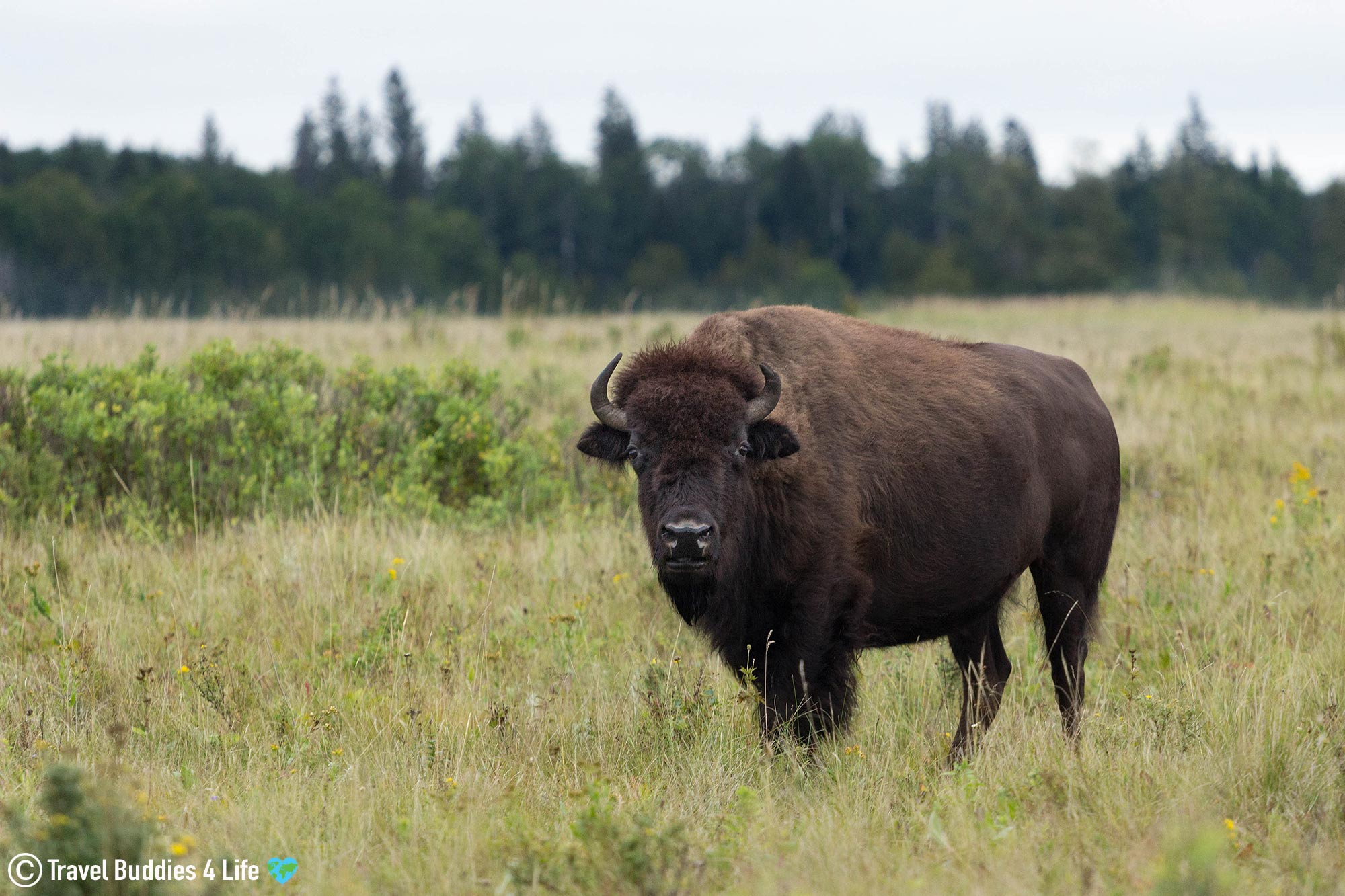A Lone Plain Bison In The Grassy Fields Of Riding Mountain National Park In Northern Manitoba, Canada Travels