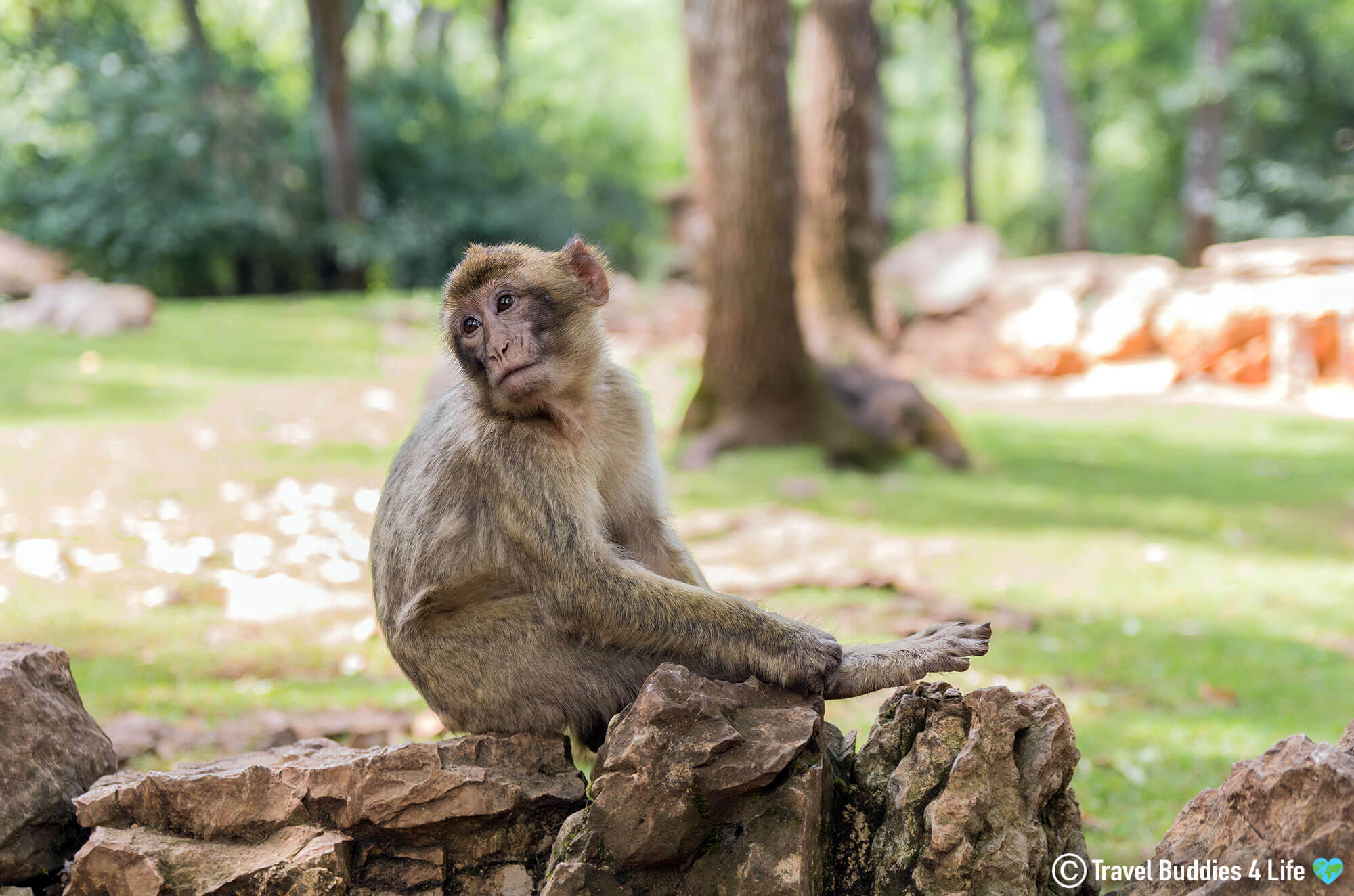 A Mischievous Baby Barbary Macaque Looking to Cause some Trouble in the Rocamadour Foret des Singes, Southern France, Europe
