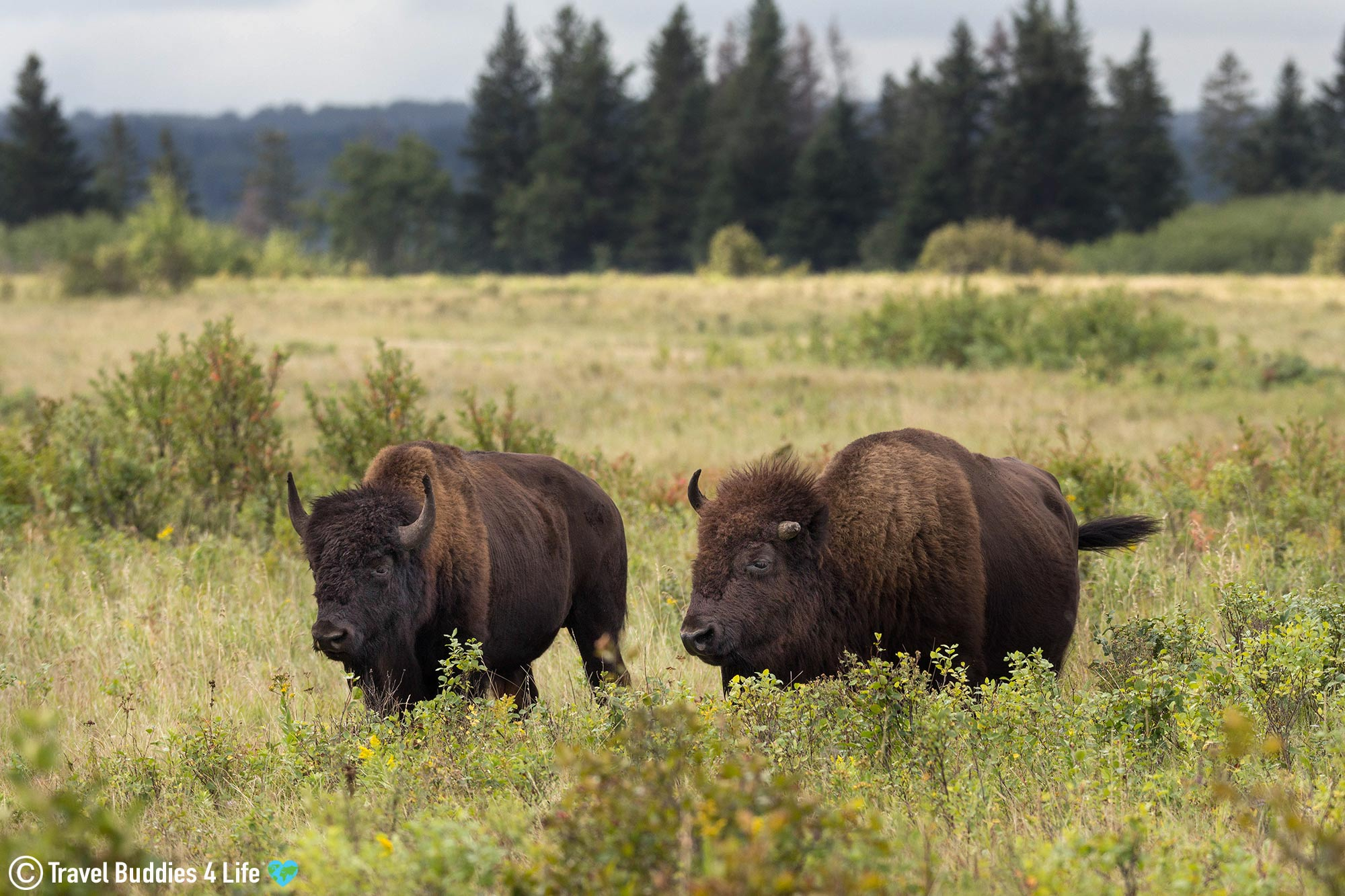A Pair Of Furry Bison Chewing In The Fields Of Riding Mountain Park, Manitoba Travel, Canada