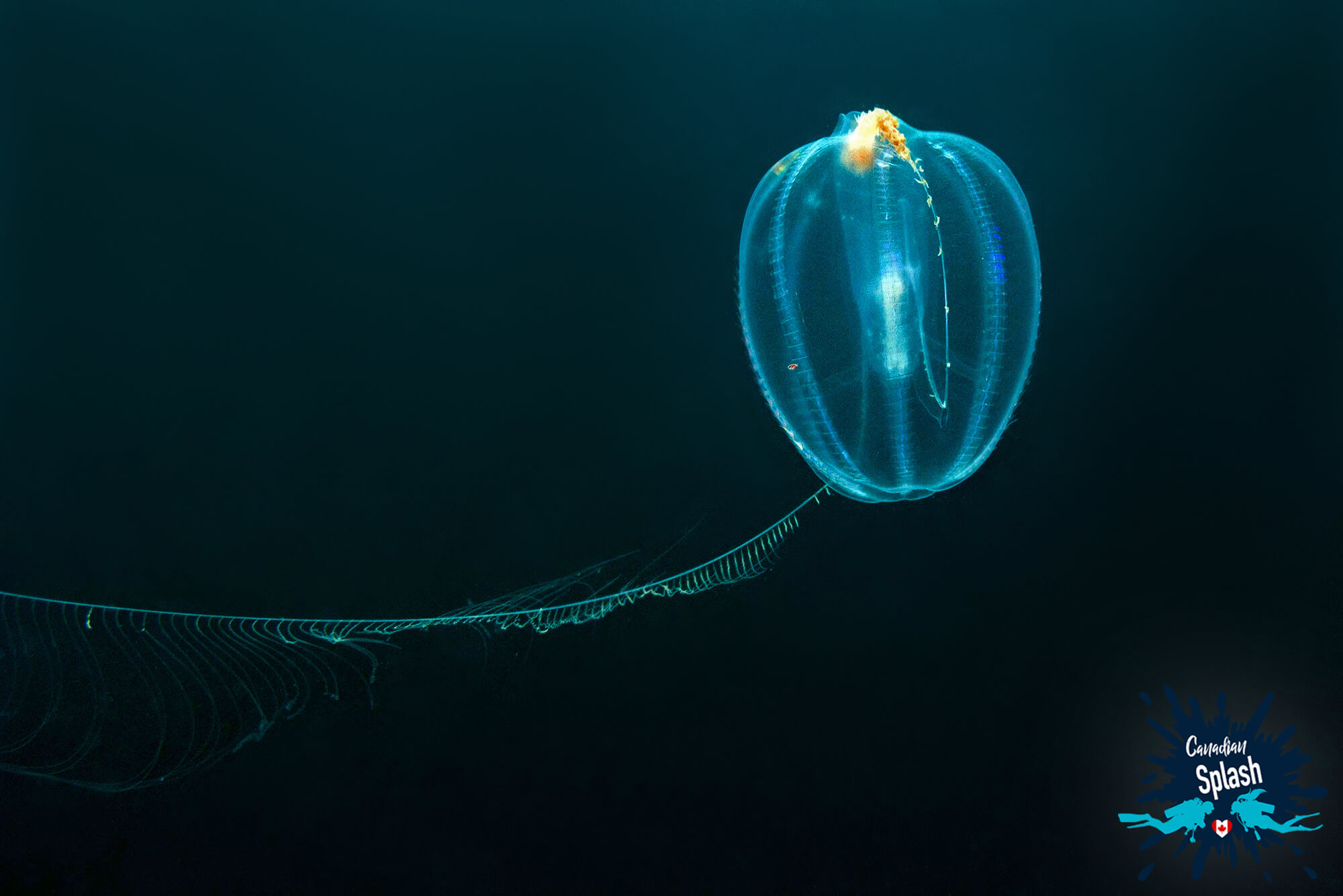 A Ctenophore in Nova Scotia