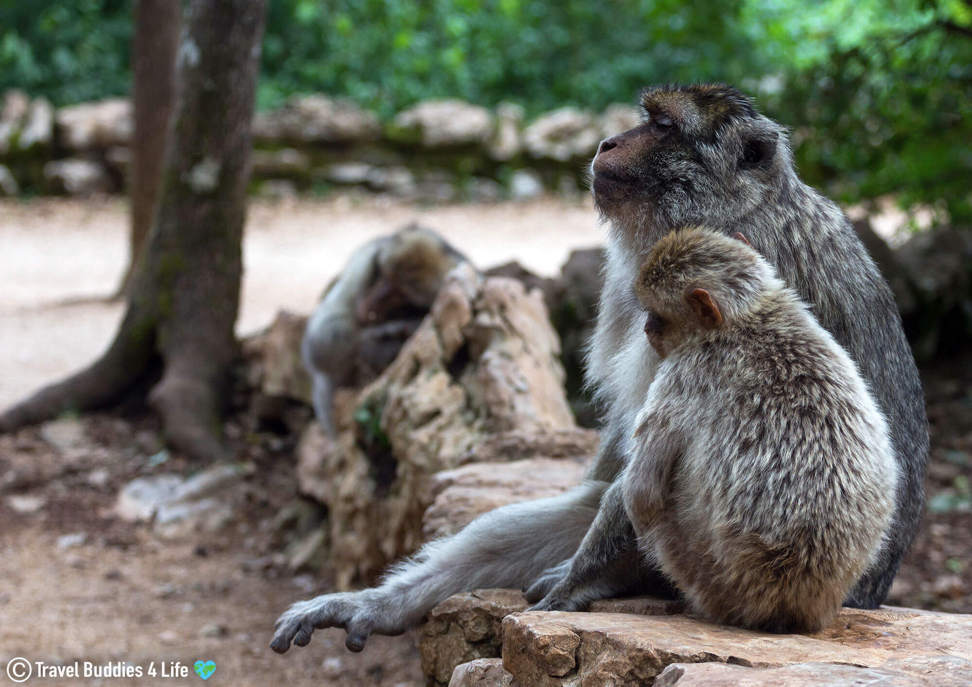 A Trio of Endangered Barbary Macaques Sitting in the Monkey Park in Southern France, Europe