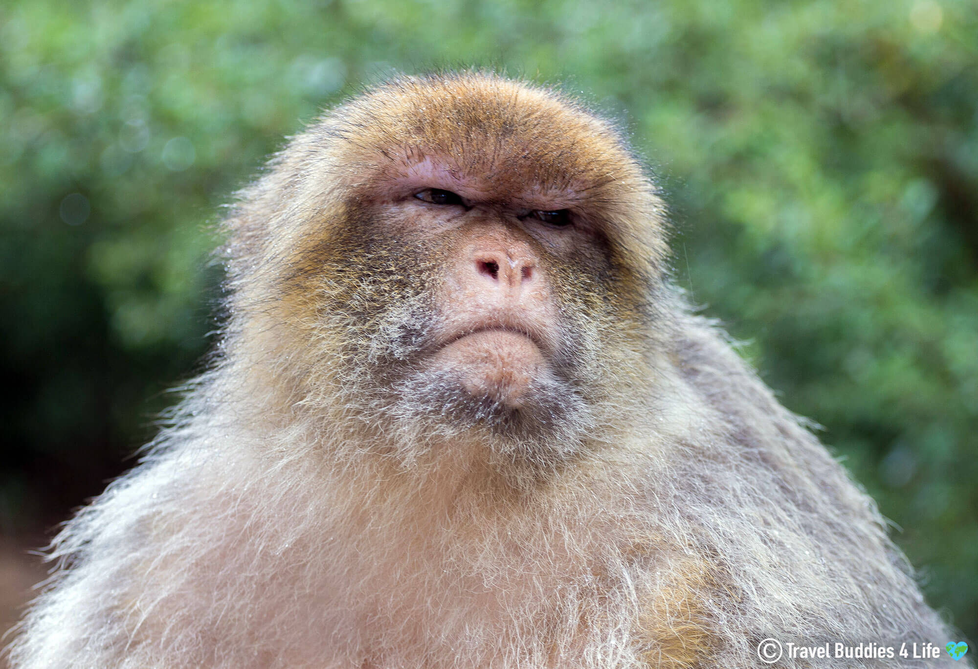 An Angry Barbary Macaque at the Foret des Singes in Rocamadour, Southern France, Europe