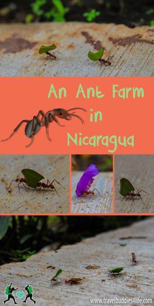 Ant farm Nicaragua Pinterest