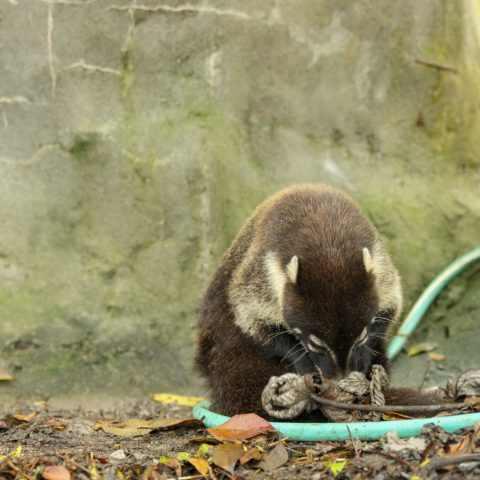 A Coati Mammal Looking for a Snack