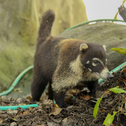 A Coati Close Up Being a Beast