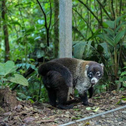 A Coati by the Sign in Monteverde