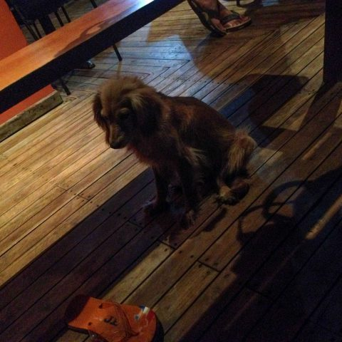 A Dog under the Table in Ostional