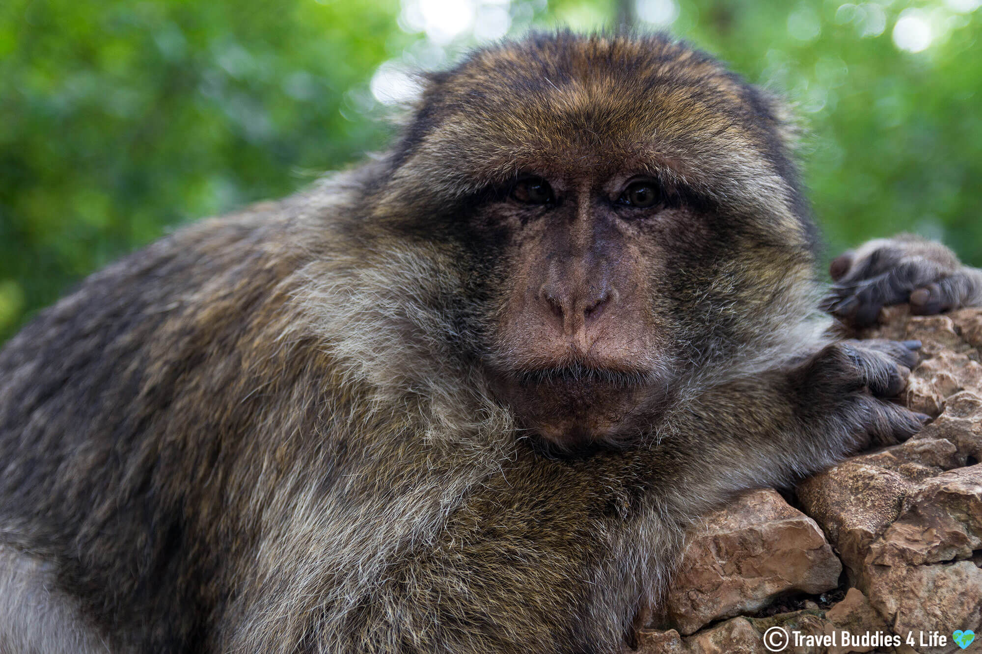 Getting Close to A Free Roaming Macaque Monkey in Southern France, Europe