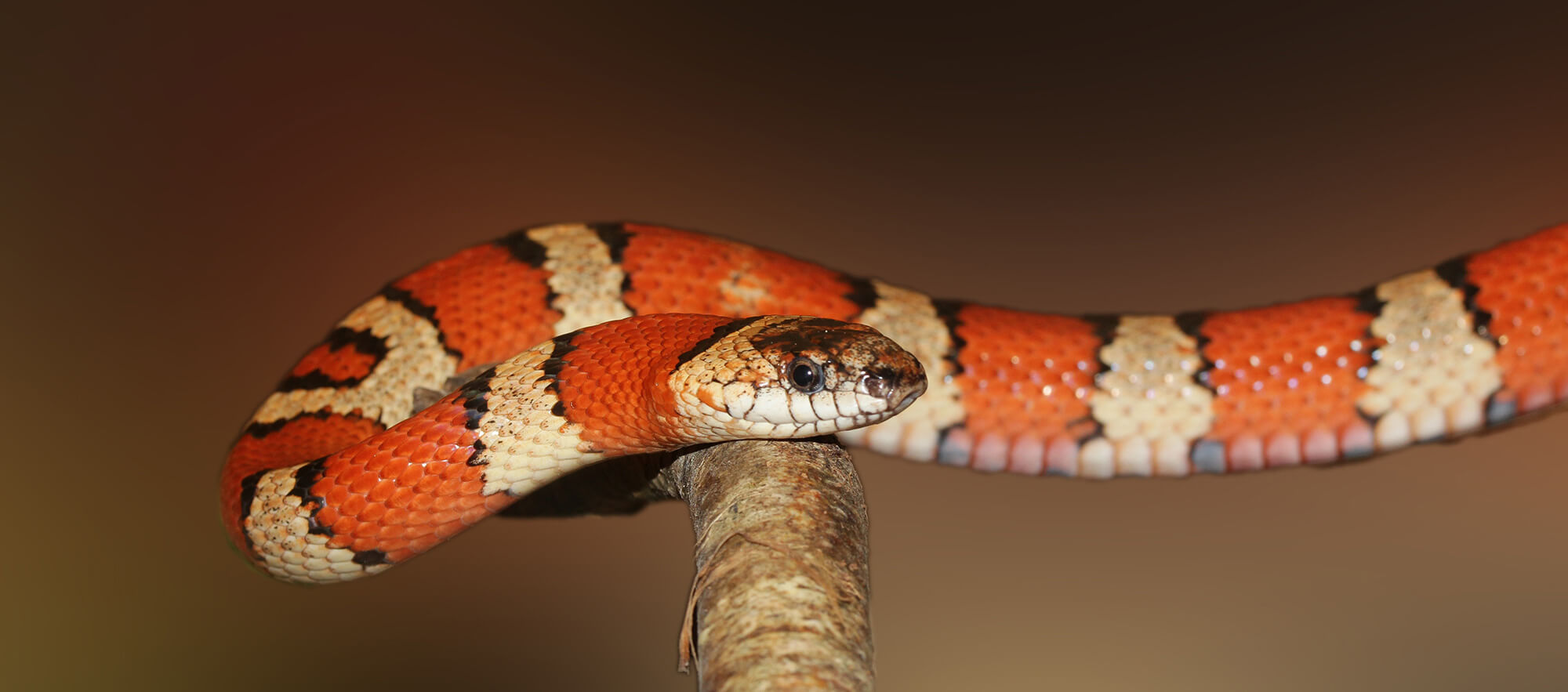 Costa Rican King Snake on a Branch