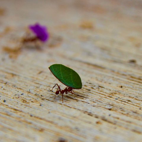 Leaf Cutter Ants at Work