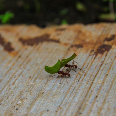 Leaf Cutter Ants at Work II
