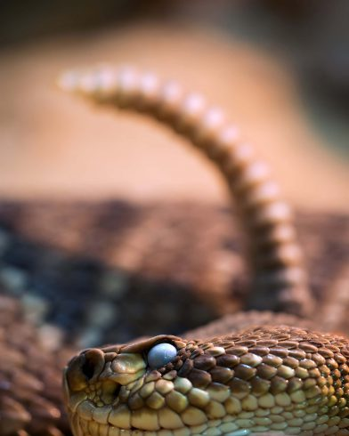 Rattle Snake of Costa Rica