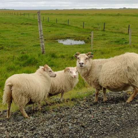 Icelandic Sheep Near the Side of the Road