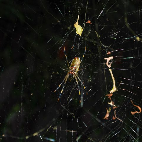 A Costa Rican Jungle Spider in a Web