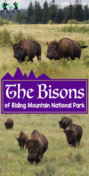 The Bisons Of Riding Mountain National Park