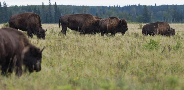 The Plain Bison Of Riding Mountain National Park In Manitoba, Canada