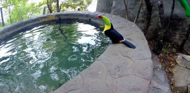 A Toucan at the Costa Rica Tour Pool