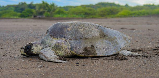 Turtle Side Profile