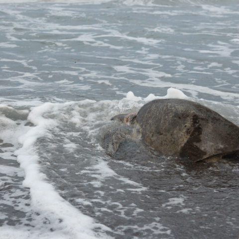 Turtle in the Surf