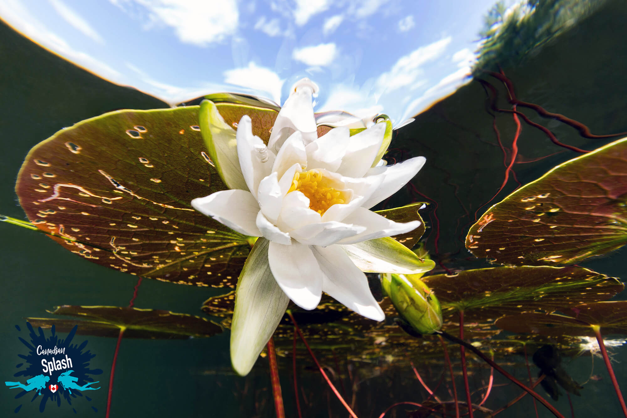 Scuba Diving in Ontario and Finding a Water Lily