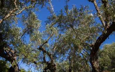 Zakynthos Olive Tree's And The Sky