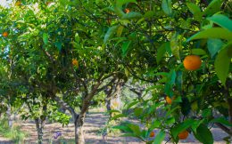 Zakynthos Orange Orchard