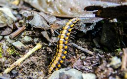 Crawling Orange Millipede